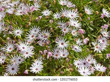 Background with Osteospermum flowers