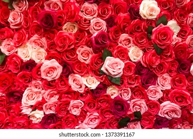 Background pattern of red pink and white rose used as backdrop