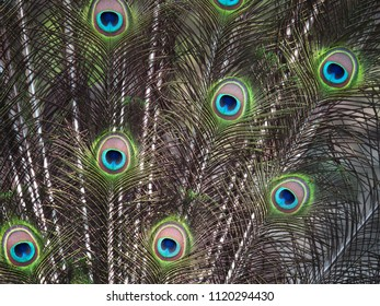 background from peacock feathers close up