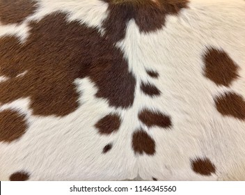Background photo color of cowhide fur. Close-up under the inscription or backing. Cowhide hair cow skin brown and white background ready for text graphics.