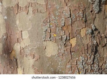 background photo of texture of  London plane tree bark