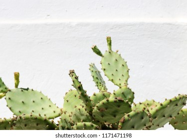 Background picture of a large cactus plant growing in front of a white stone wall on the mediterranean island Bozcaada in Turkey.