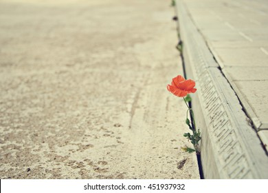 Background picture. The one poppy does not give up: grows through concrete and blooms. Will to live