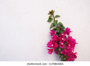Background picture of pink flowers growing in front of a white stone wall on the mediterranean island Bozcaada in Turkey.