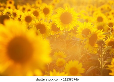 background picture of a sunflower field