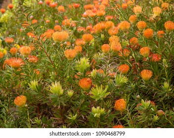 background of pincushion flowering protea plants