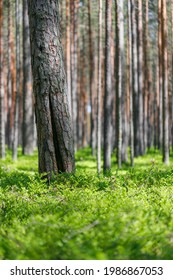 Background pine forest with green lush blueberry grass. Focus in foreground, blurred background. Vertical frame.