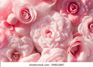 Background of pink camellias and rose. Flowers is blooming in spring and has all shades of pink. Camellia is exotic, southern plant.