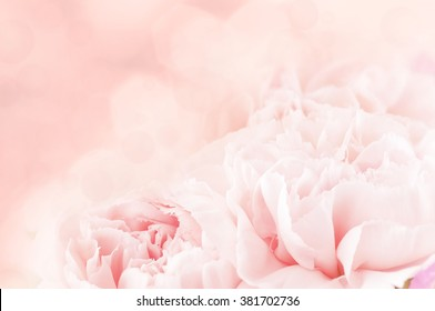 background of pink carnation flowers