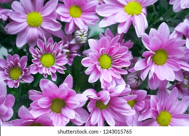 background from pink chrysanthemums with yellow stamens and green foliage close up as a card