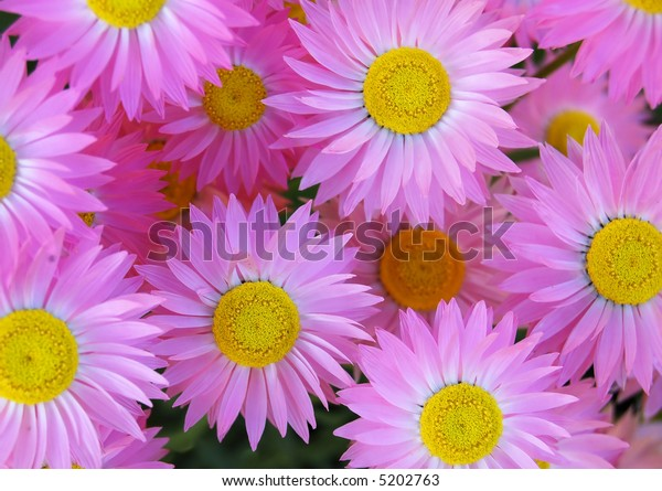 a background of pink daisies