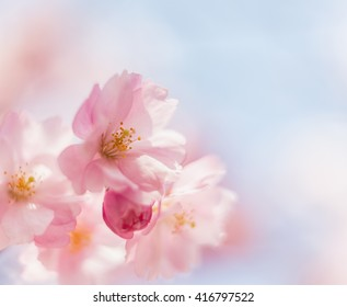 Background of pink delicate cherry flowers in spring.