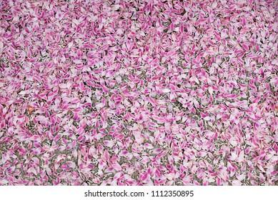 background with pink deutzia magnifica petals, fallen after a heavy rain shower
