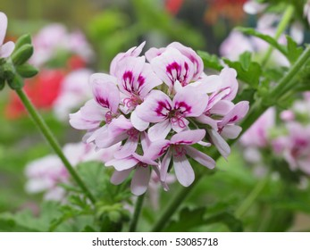background of pink geraniums in bloom