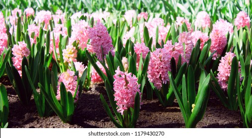 Background pink hyacinth flowering in spring field. Close-up of purple hyacinth flower meadow. Many pink hyacinth flowers in winter garden. Early spring hyacint flowers as background or greeting card.