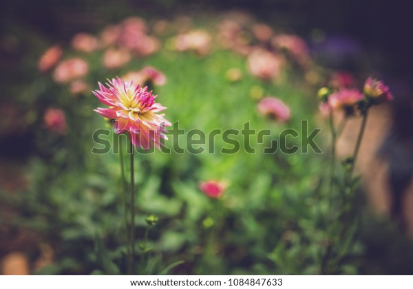 Background of pink orange red white, Flowers.(blurry concept)