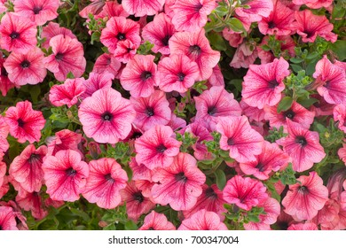 Background of pink  petunia flowers (Petunia hybrida). Natural background.