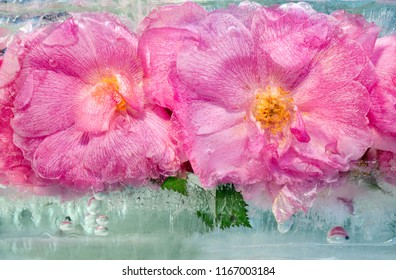 Background of pink rose   flower  with green leaves frozen in ice   cube with air bubbles. Copy space, top view,  flat lay