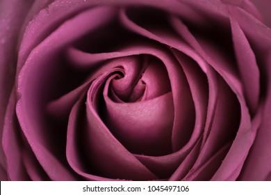 Background: pink rose flower macro