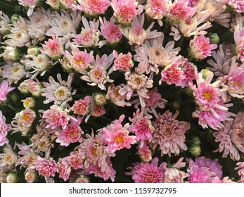 Background of pink white and yellow mums