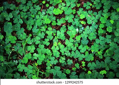 Background from plant clover four leaf. Irish traditional symbol. St.Patrick Day.