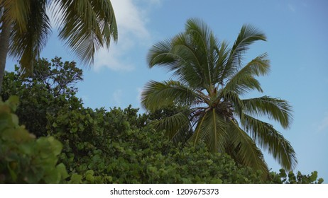 Background Plate of Large palm trees and tropical trees for green screen