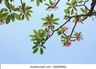 Background of Plumeria (frangipani) tree.