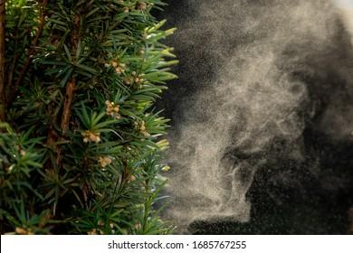 Hintergrund mit Pollen von Baum im Frühling