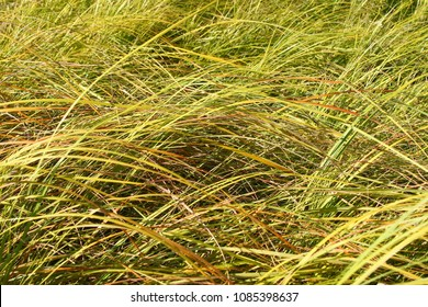 Background of pretty grass in an Illinois prairie