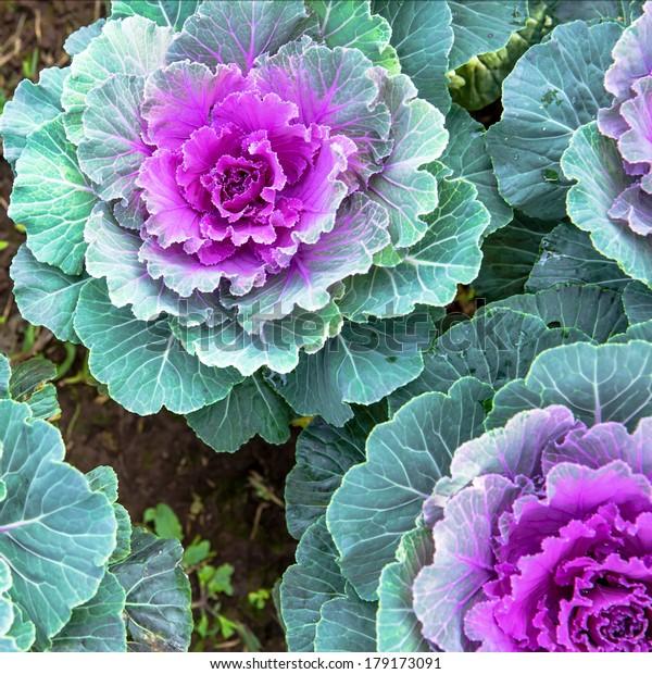 Background Purple Decorative Cabbage Ornamental Cabbage Stock