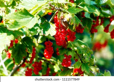 Background of red currant. Ripe red currants close-up as background.