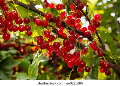 Background of red currant.