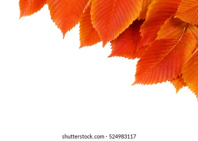 Background with red elm leaves isolated on white