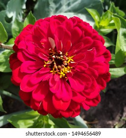 background from red flower zinnia growing in the garden