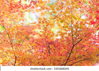 Background of red and orange autumn maple leaves with blue sky in kyoto, japan, colorful color. Kyoto is famous for its autumn leaves.