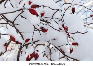 Background of red rosehips on branches under the snow