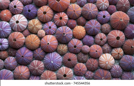 Background of red sea urchin tests, picked at Norwegian coast. Flat lay, daylight.