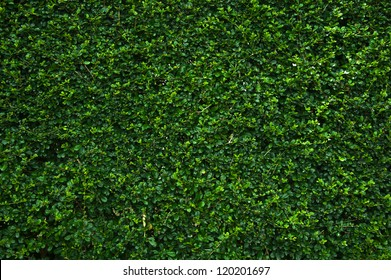 Background of reen bush wall