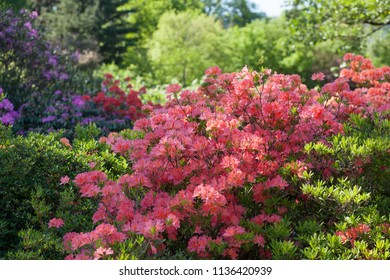 background with  rhododendron in park