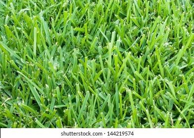 Background of saint augustine grass.