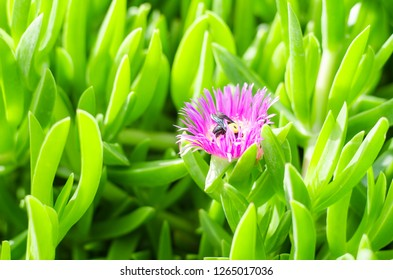 background of a sea fig or ice plant, the Carpobrotus edulis close up. A bumblebee pollinates a flower. Best green background. macro photografy. Athens, Greece