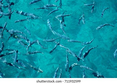 Background. Sea fish in clear water. Crete, Greece.