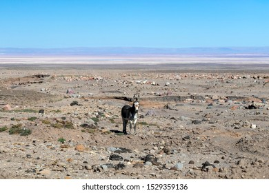 Background with selective focus. Wild donkey lonely looking at camera with colorful mountain background in Atacama desert, Chile