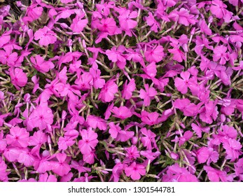Background with small pink flowers, moss phlox. Top down view.