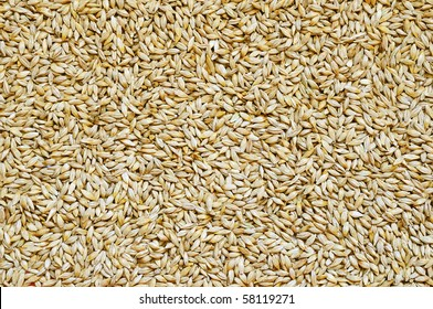 Background of small and ripe barley grains