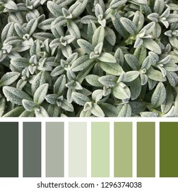 A background of the snow in summer plant, Cerastium tomentosum, in shades of silver green, in a colour palette with complimentary colour swatches.