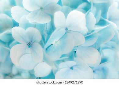 Background of Soft blue Hydrangea (Hydrangea macrophylla) or Hortensia flower. Shallow depth of field for soft dreamy feel.