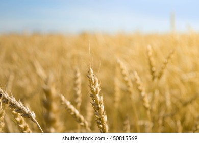 Background spikes of wheat. Wheat field