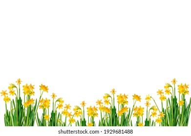 Background spring or easter. Beautiful blooming yellow narcissus withg green leaves on white background and clipping path with space for text.
