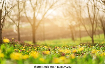 background of spring grass field with dandelions and sunlight. spring background